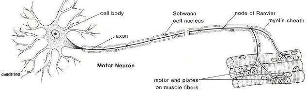 What is the difference between motor and sensory neuronsNervous System Diagram Labeled Quizlet
