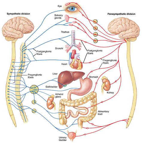 Diagram mapping the human nervous system to organs.