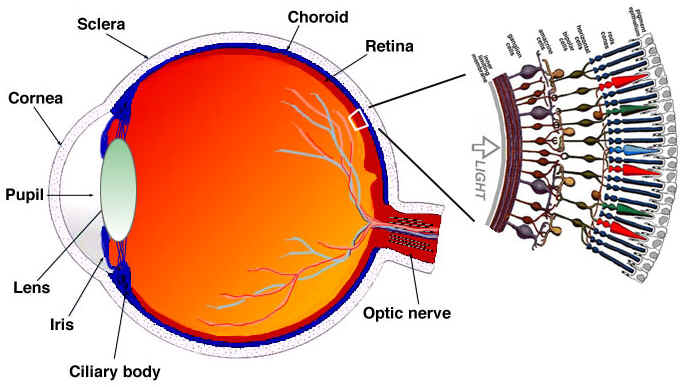 eye Cow Eye Rods and Cones the retina [back to top]